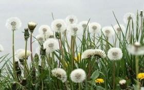 От вредителей защитят настои трав