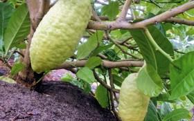 Цитрон – культова рослина: цікаве про найбільший в світі цитрус