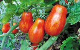 Безмежний світ помідорів: незвичайні сорти для захоплених городників