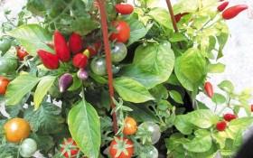 Подивіться, яка краса: декоративні грядки з помідорів та перців