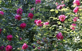 Мій прекрасний Бенджамін: досвід вирощування англійських троянд
