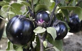 На городі – прибуток: продуктивні сорти солодкого перцю і баклажанів