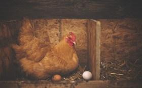 Не каждая белая курица несет белые яйца