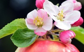 Захист саду у фазу цвітіння до збирання врожаю