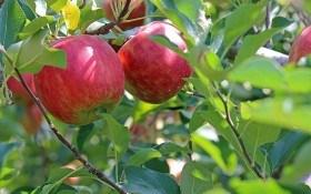 Без яблони – нет сада: выращиваем лучшие сорта