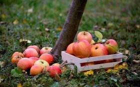 Между летом и зимой: осенние работы в плодовом саду