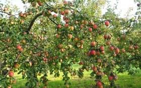 Красивые, сладкие, лежкие: выбираем сорта яблони для плодового