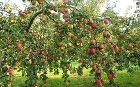 Яблуня на ваш вибір: досвід вирощування різних сортів