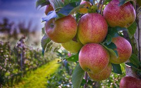 Советы садовода-практика: методы защиты, прививки и хранения плодовых культур