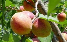 Крихітна копія сонця: технологія вирощування абрикоса