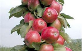 Стрункі та всипані плодами: сорти колоноподібних яблунь для вирощування в Україні