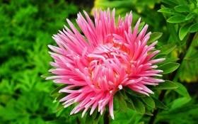 Хай квітнуть зорі: доглядаємо за каллістефусом