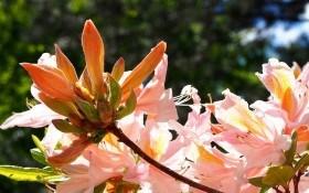 Мінлива східна красуня: азалія індійська у садибі