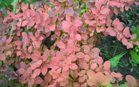 """Осіннього листя фарби яскраві: """"кольорові"""" декоративні рослини  у садибі"""