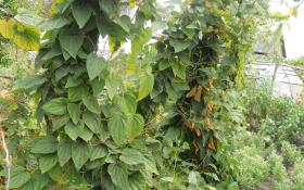 Діоскорея: цілющій верхолаз з тропічного лісу