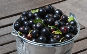 Чорна смородина в саду – незамінна: годує та зцілює