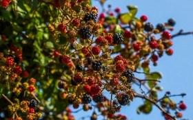 Ожина і компанія: основи агротехніки та особливості осінньої посадки