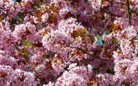 Пурпурові тони і соковитий колорит: декоративні види сливи та аличі