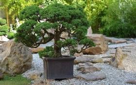 Дерево в чаші: опановуємо мистецтво бонсай