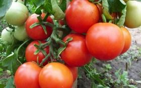 Високе зібрання: коллекція продуктивних сортів помідорів