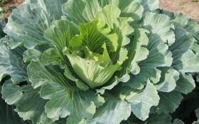 Здорова городина для кожної родини: як розпізнати нестачу поживних речовин у овочів та коренеплодів