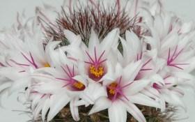 У квітучому віночку посеред зими: вирощуємо мамміллярії