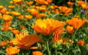 Не лише лікує: декоративні сорти календули у садибі