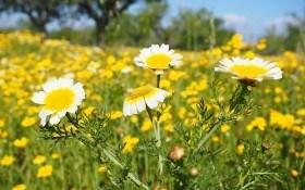 Овочева хризантема: і квітка, і салат, і ліки