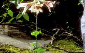 Гигантские лилии кардиокринум: посадка, уход и размножение