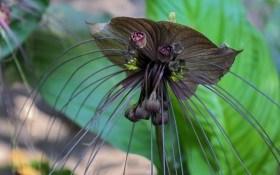 Черная лилия Такка – изысканная незнакомка в нашем доме