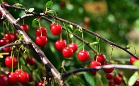 Лікуємо та рятуємо: захист вишні від небезпечних хвороб і шкідників