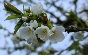 Весняний захист плодових культур на присадибних ділянках