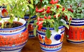 Мини-огород на подоконнике: магия чили-бонсай