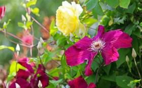 Завіси, ширми і килими: квітучі та декоративно-листяні ліани у дизайні саду