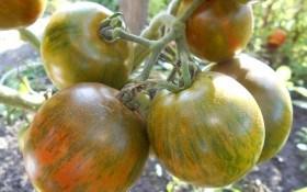 Солодкий сюрприз: досвід вирощування улюбленого сорту помідорів