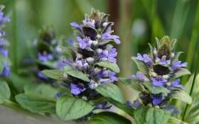 Скромна окраса квітника: аюга у дизайні саду