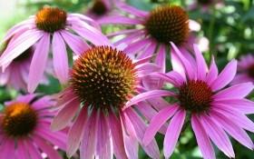 Вечірнє сонечко у квітнику: вирощуємо ехінацею