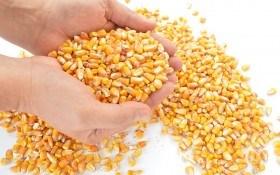 Золотий скарб з Нового світу: вирощуємо цукрову кукурудзу