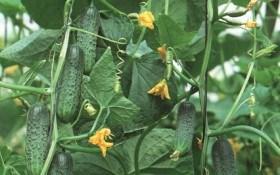 Захист огірків від хвороб та шкідників