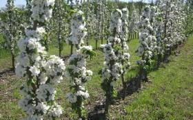 Сад у грецькому стилі: посадка, догляд і захист колоноподібних яблунь