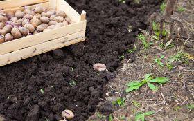 Пора сажать: когда лучше сажать картофеля