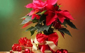 Горят рождественские звезды: выращиваем пуансетии у себя дома