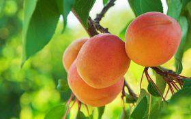 Лучшие сорта абрикоса: ароматный, сладкий, сочный