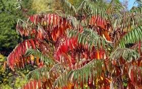 Пушистое дерево с оленьими рогами: сумах оленерогий и душистый