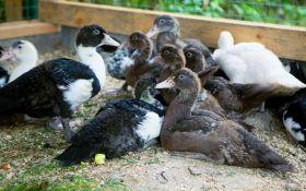 Мускусные утки и мулларды — пернатые красавцы вашего птичника