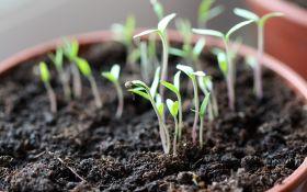 Выращиваем рассаду помидор в 3 шага