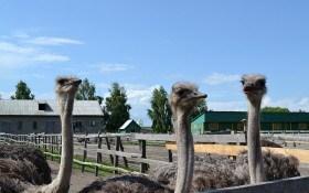 Африканские страусы на степных просторах: особенности выращивания и ухода