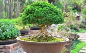Как вырастить бонсай? Особенности размножения, выращивания и обрезки