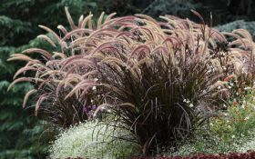 8 видов злаков, которые вы захотите посадить в саду