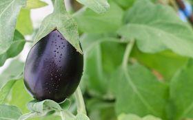 Все секреты выращивания баклажана: от семени — до плодов